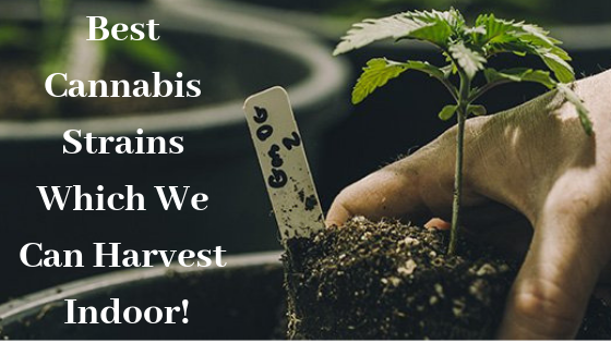 Best Cannabis Strains Which We Can Harvest Indoor!